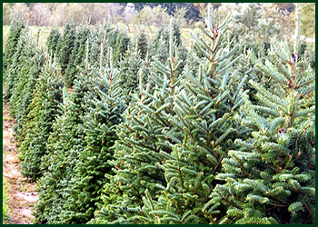 Paradise Tree Farm Evergreen Trees Ohio Tree Farms Wholesale