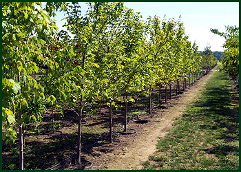 Paradise Tree Farm Shade Trees Ohio Tree Farms Wholesale Tree Farm